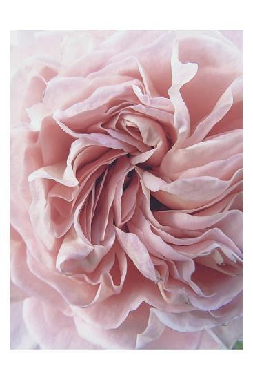 Rose-Urban Epiphany-Art Print