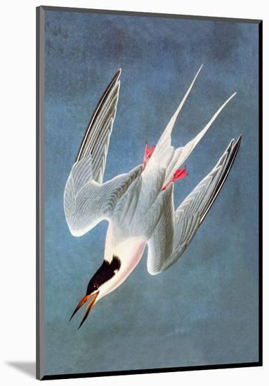 Roseate Fern-John James Audubon-Mounted Premium Giclee Print