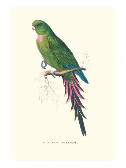 Roseate Parakeet - Polytelis Swainsoni-Edward Lear-Art Print