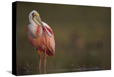 Roseate Spoonbill adult in breeding plumage, North America-Tim Fitzharris-Stretched Canvas Print