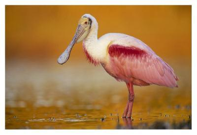 Roseate Spoonbill adult in breeding plumage standing in golden-colored water, North America-Tim Fitzharris-Art Print