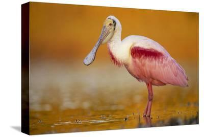 Roseate Spoonbill adult in breeding plumage standing in golden-colored water, North America-Tim Fitzharris-Stretched Canvas Print