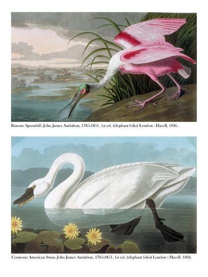 Roseate Spoonbill and Common American Swan, 1836-John James Audubon-Giclee Print