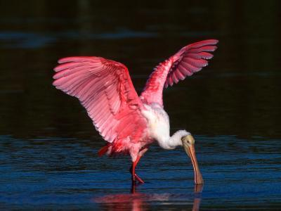 Roseate Spoonbill, Ding Darling National Wildlife Refuge, Sanibel Island, Florida, USA-Charles Sleicher-Photographic Print