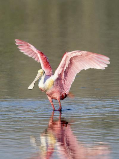 Roseate Spoonbill, Ding Darling Nwr, FL-Stan Osolinski-Photographic Print