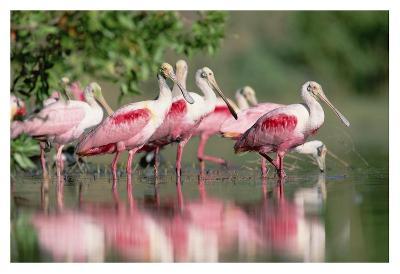 Roseate Spoonbill flock wading in pond, Texas coast near Galveston-Tim Fitzharris-Art Print