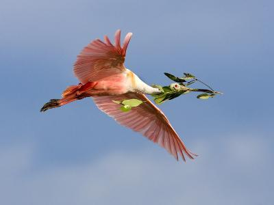 Roseate Spoonbill in Flight Carrying Nesting Material, Tampa Bay, Florida, USA-Jim Zuckerman-Photographic Print