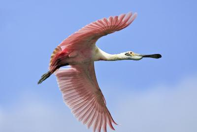 Roseate Spoonbill in Flight--Photographic Print