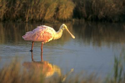 Roseate Spoonbill, South Padre Island, Texas-Richard and Susan Day-Photographic Print