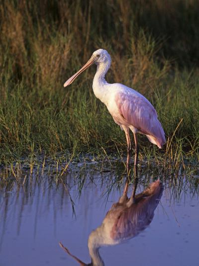 Roseate Spoonbill with its Reflection in the Marsh Pond, Ajaia Ajaja, Florida, USA-Arthur Morris-Photographic Print