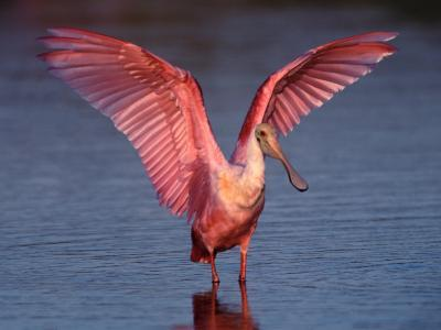 Roseate Spoonbill with Wings Spread, Everglades National Park, Florida, USA-Charles Sleicher-Photographic Print