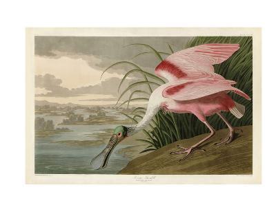 Roseate Spoonbill-John James Audubon-Art Print