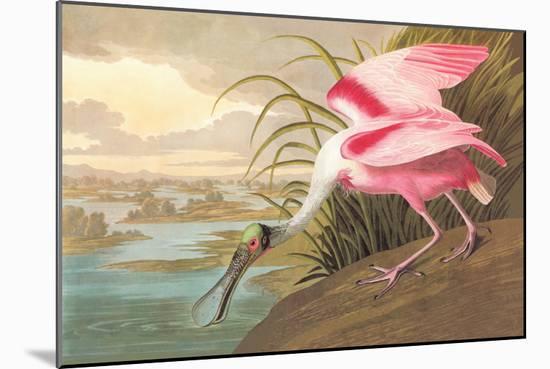 Roseate Spoonbill-John James Audubon-Mounted Premium Giclee Print
