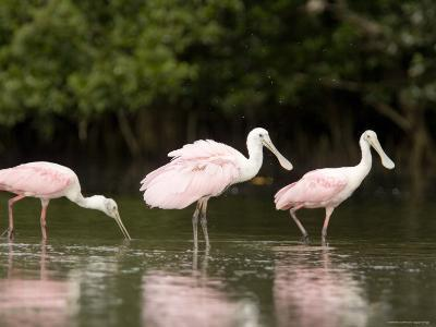 Roseate Spoonbills Feed on a Mangrove Island, Tampa Bay, Florida-Tim Laman-Photographic Print