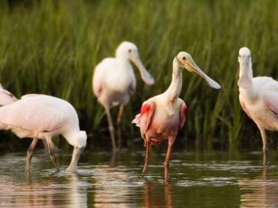 Roseate Spoonbills Forage Along the Edges of a Mangrove Island, Tampa Bay, Florida-Tim Laman-Photographic Print