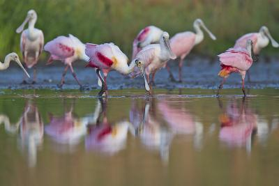 Roseate Spoonbills Foraging and Eating in the Waters of Lake Corpus Christi-Karine Aigner-Photographic Print
