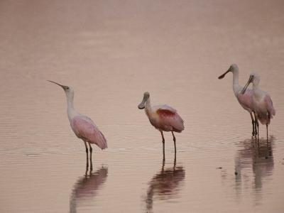 Roseate Spoonbills Stand in Shallow Water, Reflecting the Pink Sunset-Nicole Duplaix-Photographic Print