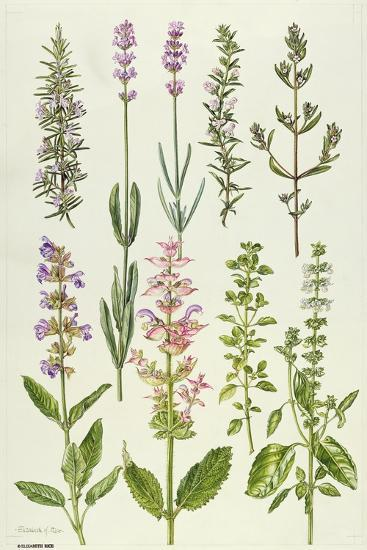 Rosemary and Other Herbs-Elizabeth Rice-Giclee Print