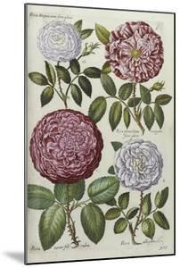 Roses, 17th Century