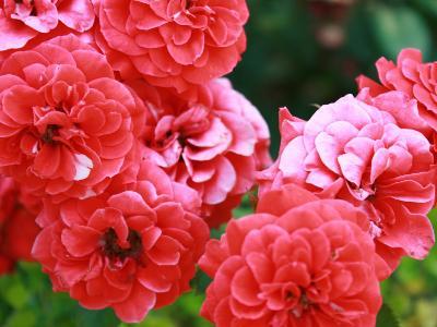Roses 1-Ryuji Adachi-Photographic Print