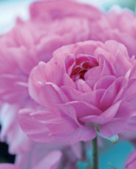 Roses Anglaises-Friis Larsen-Art Print