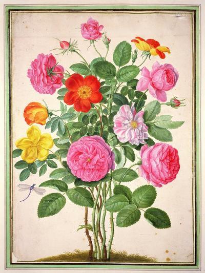 Roses, Plate 4 from the Nassau Florilegium-Johann Jakob Walther-Giclee Print