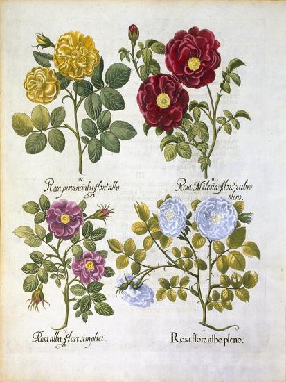 Roses, Plate 96 from Hortus Eystettensis by Basil Besler--Giclee Print