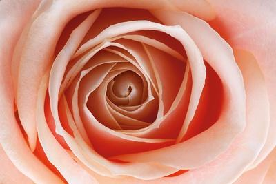 https://imgc.artprintimages.com/img/print/roses_u-l-pzrwmm0.jpg?p=0
