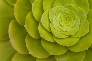 Rosette of Aeonium leaves (photo)