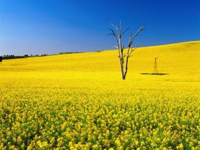 Dead Tree in Field of Flowering Canola, Cootamundra, New South Wales, Australia