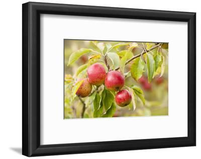 Apples (Malus Domestica) Growing in Traditional Orchard at Cotehele Nt Property, Cornwall, UK