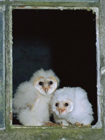 Barn Owl Chicks in Window Cornwall, UK