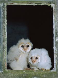 Barn Owl Chicks in Window Cornwall, UK by Ross Hoddinott