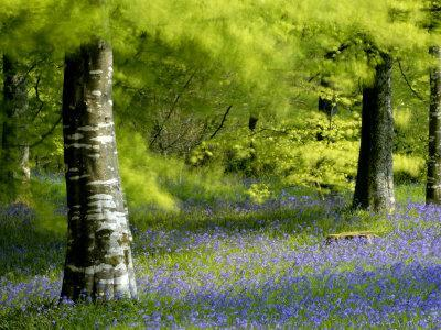 Beech and Bluebell Woodland at Lanhydrock, Cornwall, UK