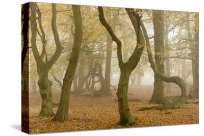 Beech Tree Trunks in Autumn Mist, Beacon Hill Country Park, the National Forest, Leicestershire, UK