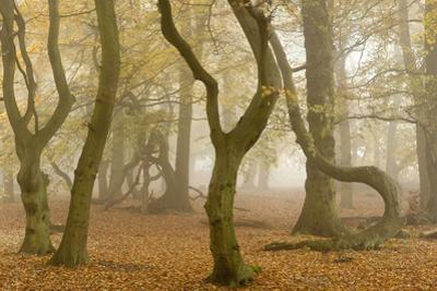 Beech Tree Trunks in Autumn Mist, Beacon Hill Country Park, the National Forest, Leicestershire, UK by Ross Hoddinott