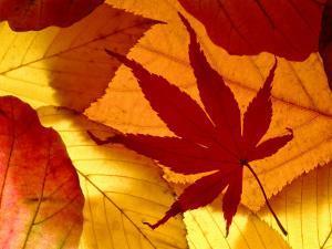 Colourful Autumnal Leaves Backlit, Cornwall, UK by Ross Hoddinott