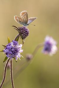 Common blue butterfly resting on devil's bit scabious, Vealand Farm, Devon, UK by Ross Hoddinott