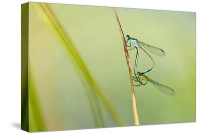 Common Blue Damselfly {Enallagma Cyathigerum}, Mating Pair, Little Bradley Ponds, Devon, UK. July