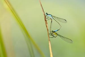 Common Blue Damselfly {Enallagma Cyathigerum}, Mating Pair, Little Bradley Ponds, Devon, UK. July by Ross Hoddinott