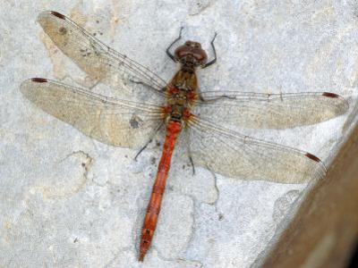Common Darter Dragonfly Cornwall, UK by Ross Hoddinott