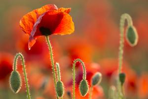 Common Poppies (Papaver Rhoeas) Backlit In Evening Light, Polly - Porth Joke, Pentire by Ross Hoddinott