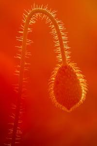 Common Poppy (Papaver Rhoeas) Bud, Polly - Porth Joke, Pentire, Newquay, Cornwall, UK, July by Ross Hoddinott