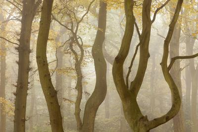 Contorted Branches and Trunks of Beech Trees (Fagus Sylvatica) in Autumn Mist, Leicestershire, UK