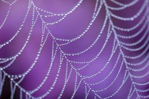 Dew Covered Spider's Web with Flowering Heather, Arne Rspb Reserve, Dorset, England by Ross Hoddinott