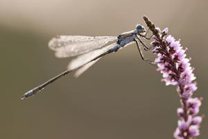 Emerald Damselfly (Lestes Sponsa) in Early Morning Light, Arne Rspb Reserve, Dorset, England, UK by Ross Hoddinott