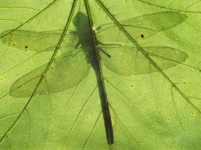 Emperor Dragonfly, Silhouette Seen Through Leaf, Cornwall, UK