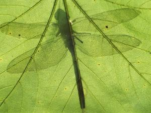 Emperor Dragonfly, Silhouette Seen Through Leaf, Cornwall, UK by Ross Hoddinott