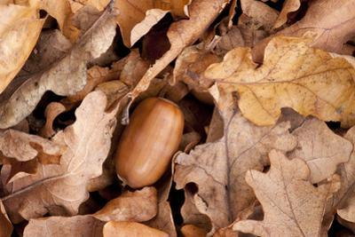 English Oak Tree Acorn and Fallen Leaves in Autumn, Beacon Hill Country Park, Leicestershire, UK