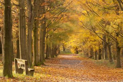 European Beech Trees in Autumn, Beacon Hill Country Park, the National Forest, Leicestershire, UK